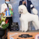September And October Were Great Months For Piedmont Poodles